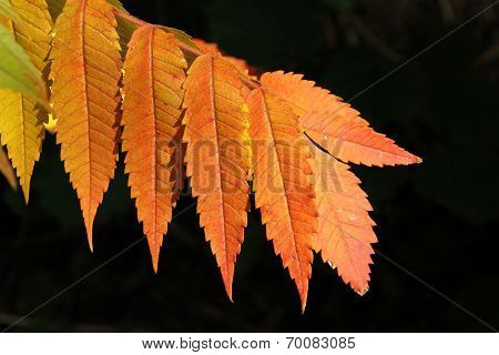 Autumnal Colored Branch Of Sumac Tree