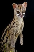 The Genet is a secretive nocturnal predator,found across Southern Europe up to Southern Africa and the Middle East. poster