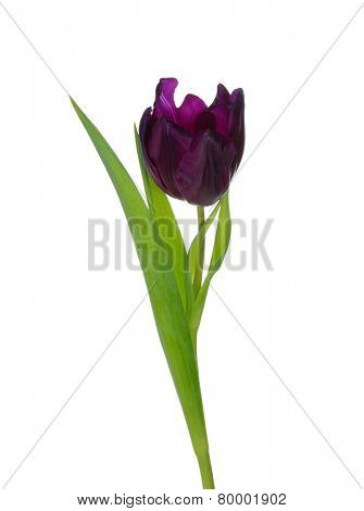 Studio shot of purple tulip isolated on white