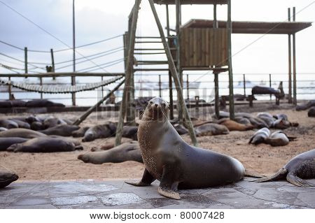 sea lion in the Galpagos Islands