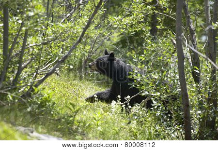 Canadian Landscape With Black Bear In Alberta. Canada