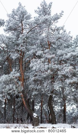 Pine Trees Covered With Hoarfrost