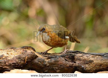 Rusty-cheeked Scimitar-babbler (pomatorhinus Erythrogenys)