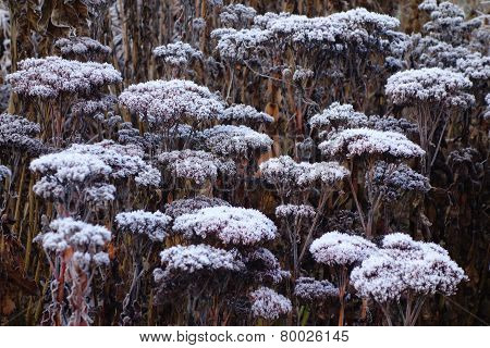 Frosted Seedheads