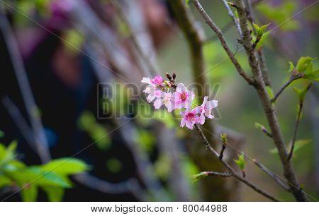 Cherry Blossom Or Sakura Flowers On Doi Angkhang Mountain Chiang Mai Thailand