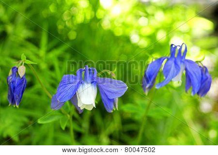 Blue Field Flower On The Summer Mountain Meadow