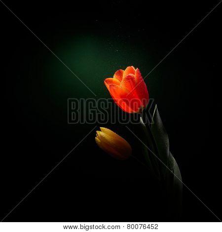 fresh yellow tulip isolated in studio