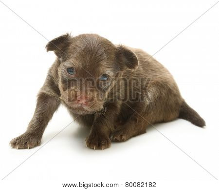 Toy terrier puppy, two weeks old isolated on a white background.