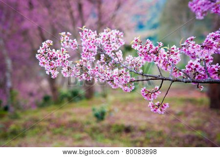 Himalayan Cherry (prunus Cerasoides) Blooming At Pang Khon    Mountain Chiang Rai, Thailand