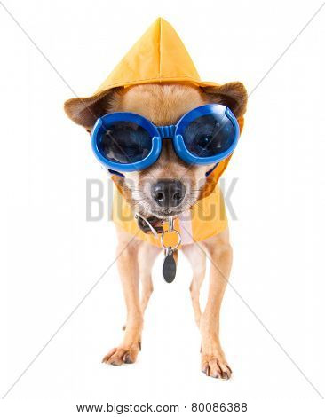 tiny chihuahua with a raincoat and goggles isolated on a white background