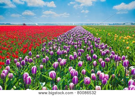 Close view of purple, red and yellow tulips