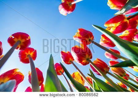 Macro view of orange tulips on sky background