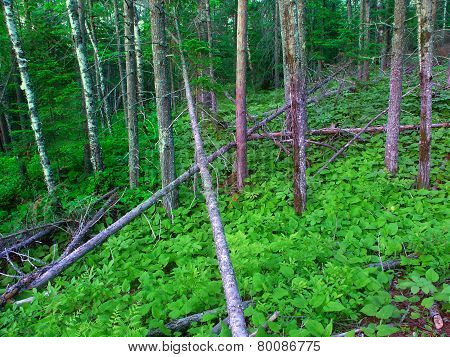 Northwoods Michigan Forest Landscape