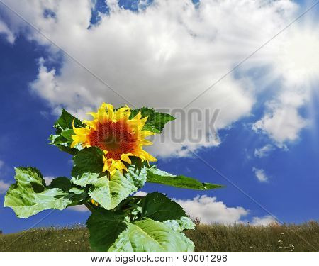 Kibbutz in southern Israel. Gorgeous huge sunflower on the field overgrown with weeds