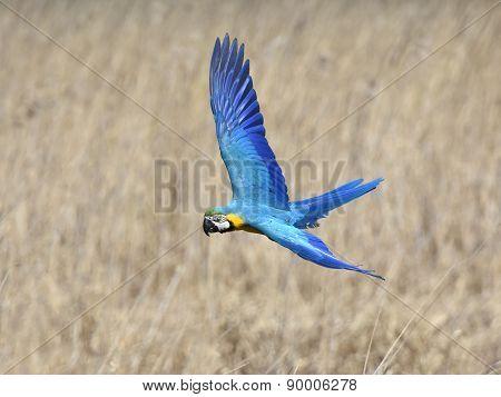 Blue And Yellow Macaw (ara Ararauna)