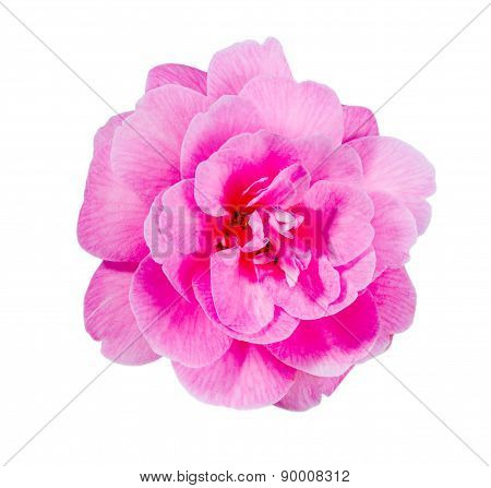 Pink Camellia flower closeup, isolated on white background