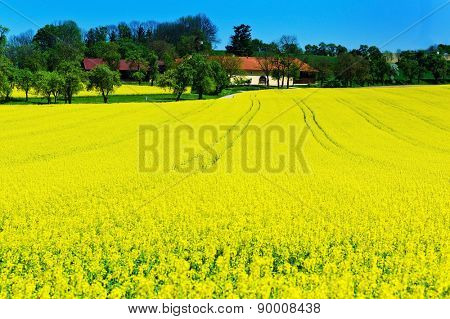 eion yellow rape field in spring time in front of a farmhouse. background and copy space.