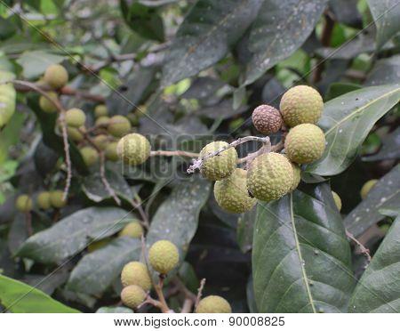 Longan Tropical Fruit