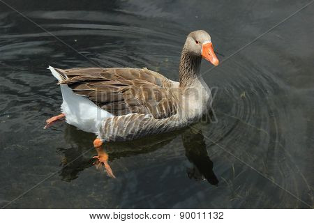Goose Swimming