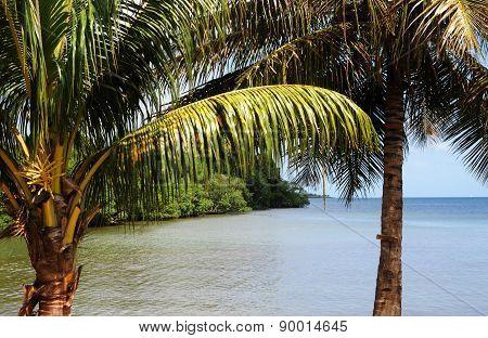 Mangrove Swamp In Sainte Rose In Guadeloupe