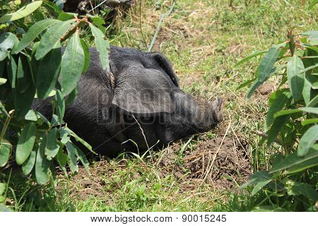 Black Pig in a Pasture