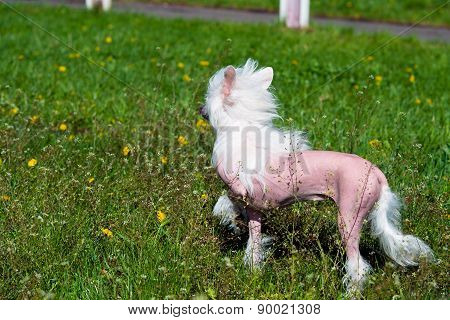 Chinese crested dog in field.