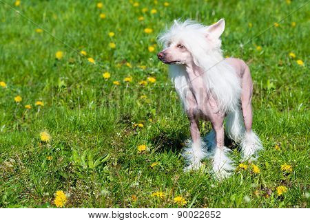 Chinese crested dog stands.