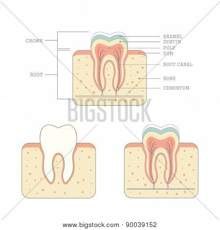 tooth, anatomy,