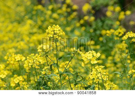 Rape Flowers In A Farm Field