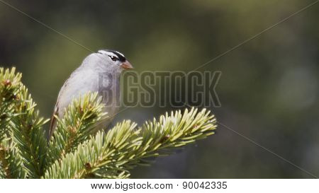 Bird - White crowned sparrow