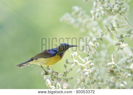 Brown-throated Sunbird Bird Suck Nectar From The Flowers