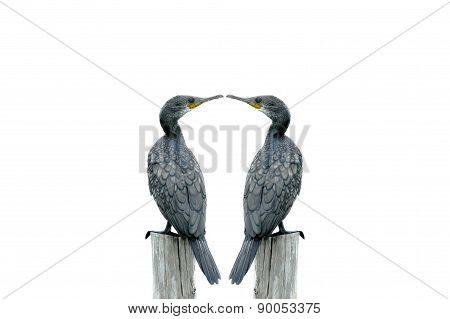 Fineart Photography ,double Bird (little Cormorant) Perching On