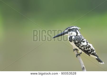 Pied Kingfisher Perching Over The Pond In Thailand. (ceryle Rudi