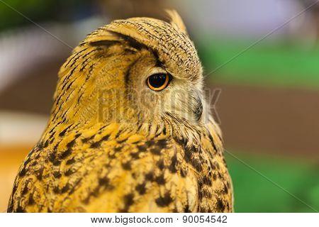 European Eagle Owl Or Eurasian Eagle Owl Watching, Closeup