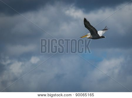 Image of dalmatian Pelican on Lake Prespa Greece poster