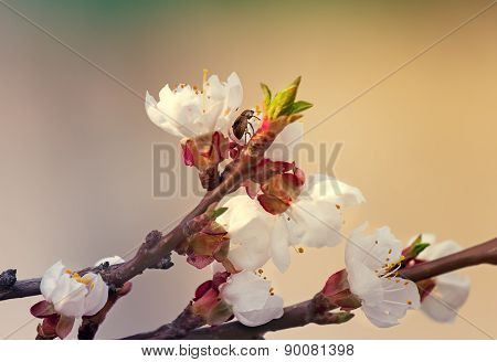 Blooming Apricot And Insect In The Sky