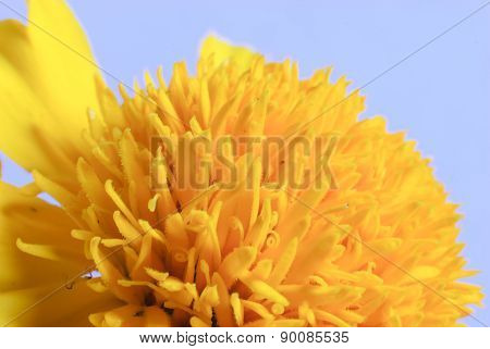 Macro Shot Of Marigold Flower