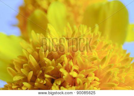 Macro Shot Of Marigold Flower