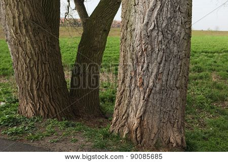 Old poplar trunks in Terezin, Czech Republic.