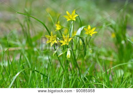 Gagea pratensis, called the Yellow Star of Bethlehem