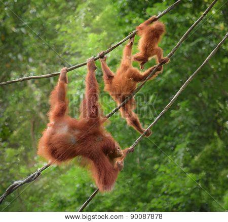 Orangutangs In Funny Poses Walking On A Rope