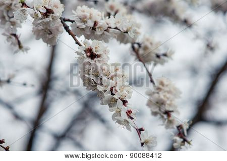 Flowers Blooming Apricot Tree On A Background Of Leaves And Sky