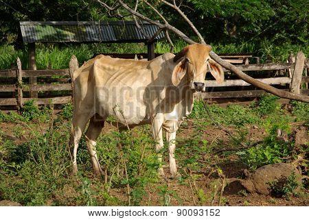 Zebu in Nicaragua