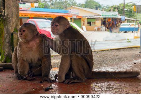 Pair Of Friendly Small Monkeys, Ecuador, South America