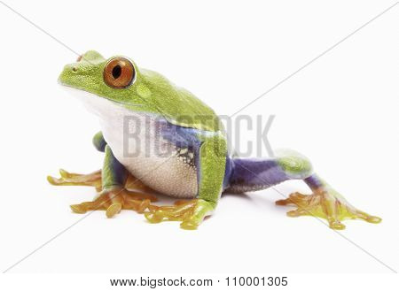 red eyed tree frog isolated on white a macro of a beautiful rain forest treefrog of the jungles of Costa Rica, Panama and Nicaragua. Exotic animal