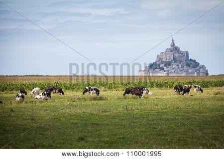 Cows At Mont Saint Michel