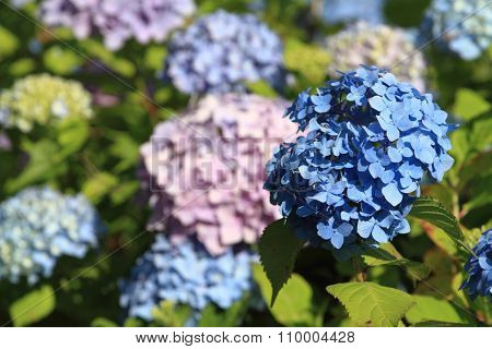 Various color of hydrangea in Kamakura Kanagawa Japan
