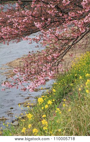 Cherry blossoms (Kawazu Cherry) and Kawazu river in Izu Japan