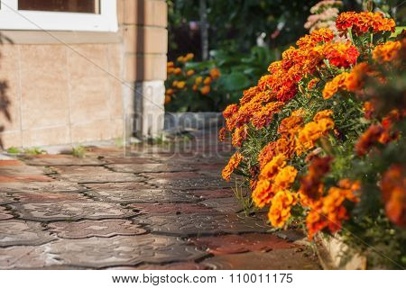 Tagetes Flowers After A Rain