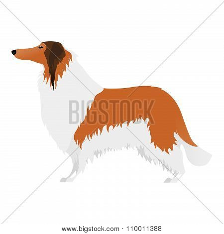 Isolated elegant large Collie dog on white